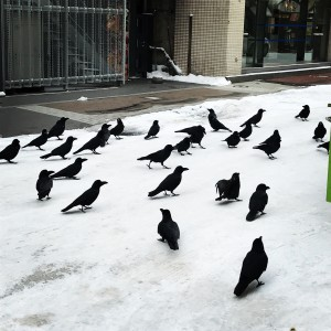Crows, crows everywhere...